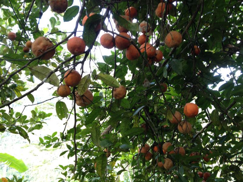 jeruk Pelebip