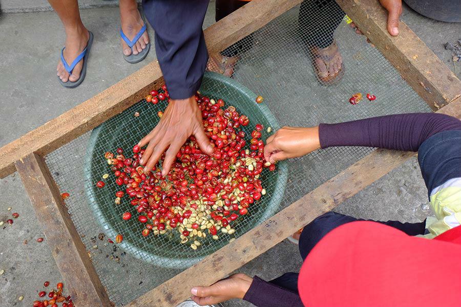 Proses Sortasi Biji Kopi Arabica dari Ratamba banjarnegara
