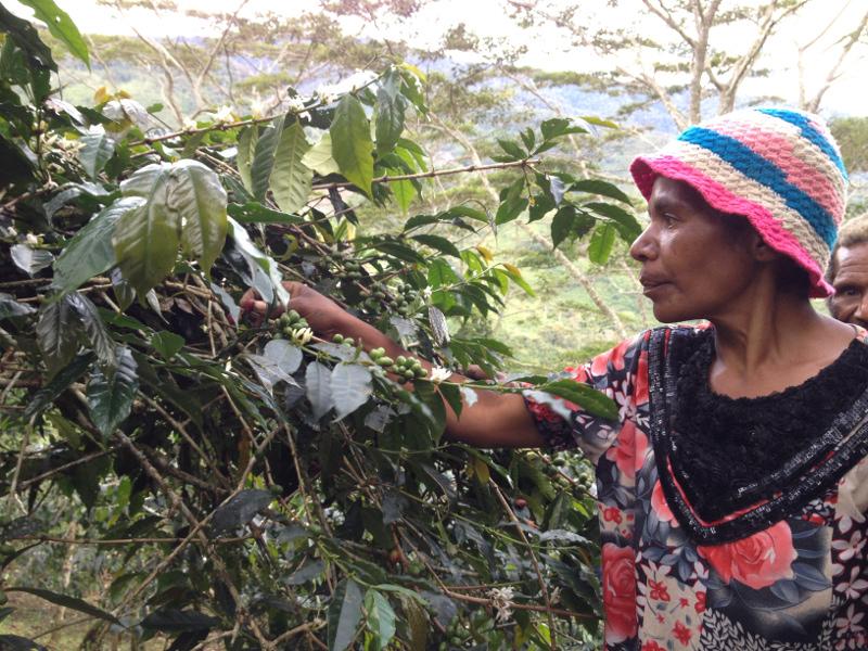 Warga Desa Pelebip Lagi memetik kopi